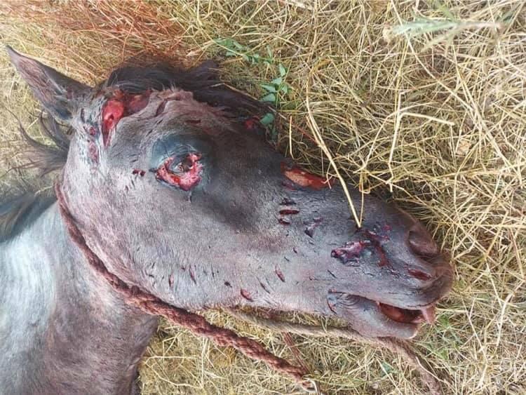 Három megvadult kutya marcangolt halálra egy védtelen lovat, emberre is támadtak – DÖBBENETES KÉPEKKEL