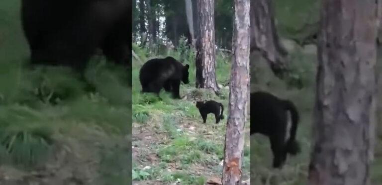 Elmenekült a medve, miután a bedühödött cica ráijesztett – VIDEÓ