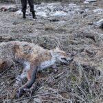 Felfüggesztették az eljárást a Tázlárhoz közeli erdőben szétdobált állati tetemek ügyében