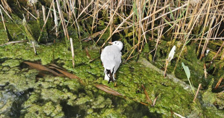 A halak mellett már madarak is nagy számban pusztulnak el a Velencei-tónál