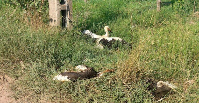 26 gólya hunyt el áramütés következtében – változásra van szükség
