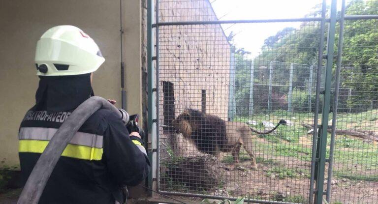 Tűzoltók segédkeztek az oroszlánok első randevúján – VIDEÓ