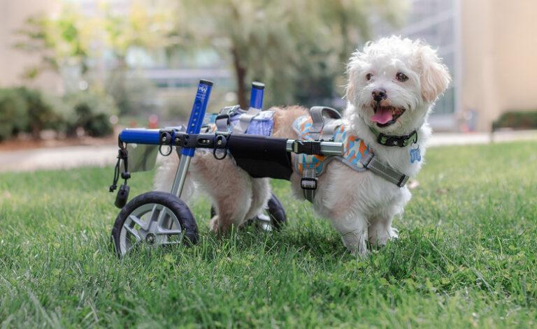 Újra képes járni a megmentett kutya egy speciális eszköznek köszönhetően