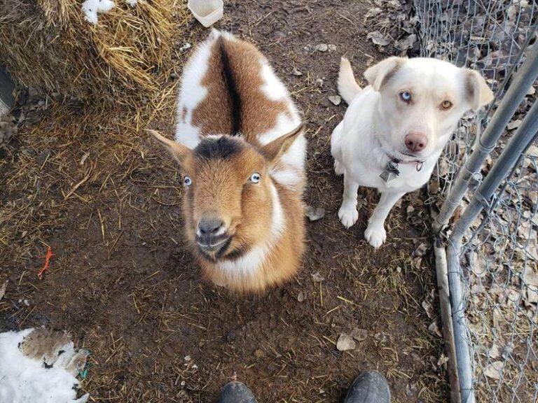 Két új baráttal, egy kecskével és egy másik kutyával tért haza az elcsatangolt kutyus
