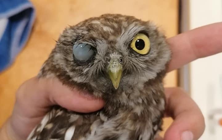 Lesoványodott, egyik szemére sérült kuvikot mentettek