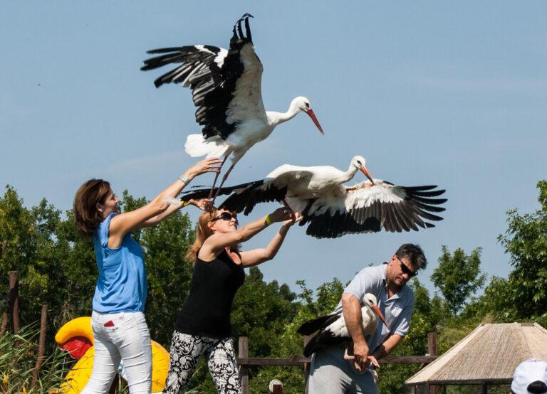 Három napon keresztül engedik szabadon a meggyógyított gólyákat a Madárkórházban