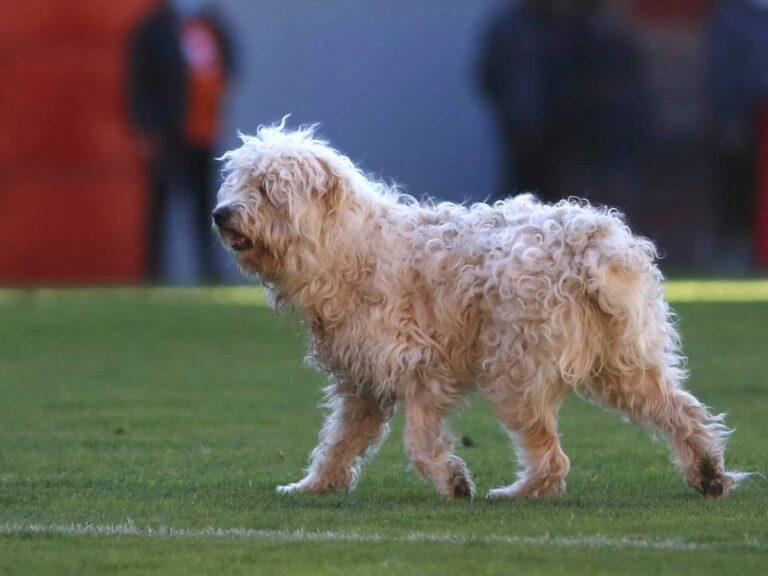 Állatokkal vonulnak ki a pályára a Haladás játékosai