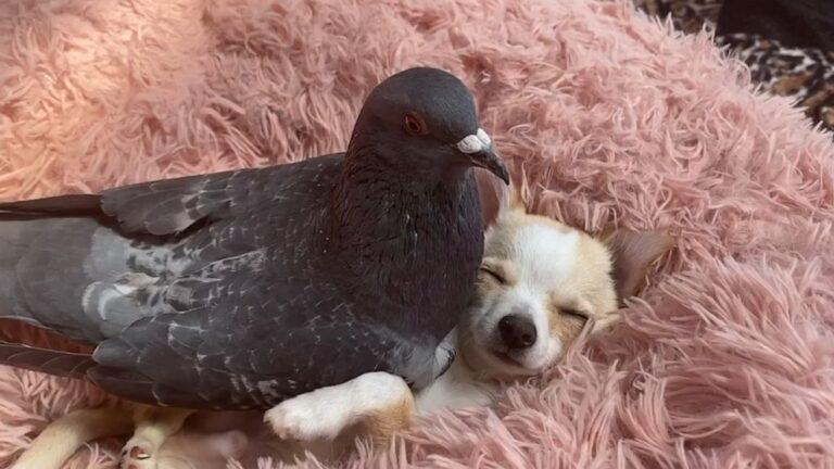 A röpképtelen galamb és a járni nem tudó kutya elválaszthatatlan barátok lettek