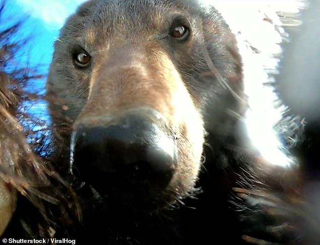 Így ismerkedik és pózol az elhagyott kamerába a medve – VIDEÓVAL