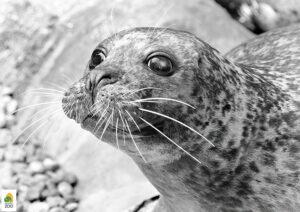 Elhunyt a Fővárosi Állatkert 29 éves borjúfókája