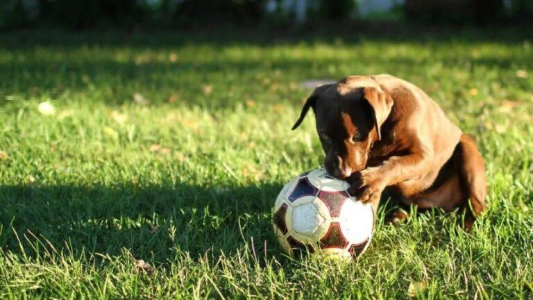 Egy kutya lőtt gólt egy focimeccsen – VIDEÓVAL