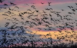 Récék, bíbicek, vadludak – madarak ezrei vonulnak