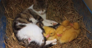 Különleges család: cicamama fogadta be az elárvult kacsákat