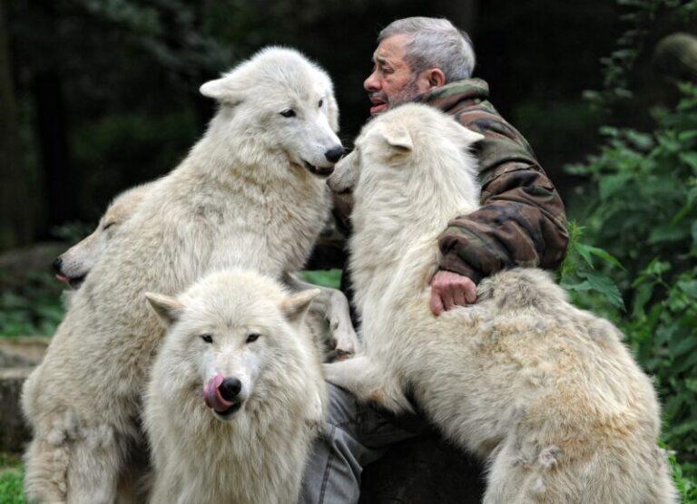 """Ő volt az igazi """"farkasokkal táncoló!"""" Ismerd meg az embert, aki farkasok között élt! – ELKÉPESZTŐ FOTÓK"""