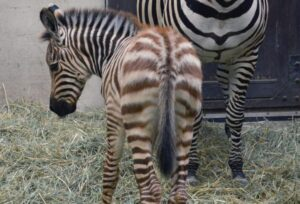 Hihetetlenül cuki zebracsikó jött a világra Budapesten