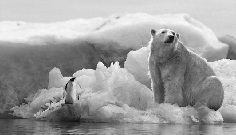 Egy tanulmány szerint a jegesmedvék az évszázad végére eltűnhetnek a Földről