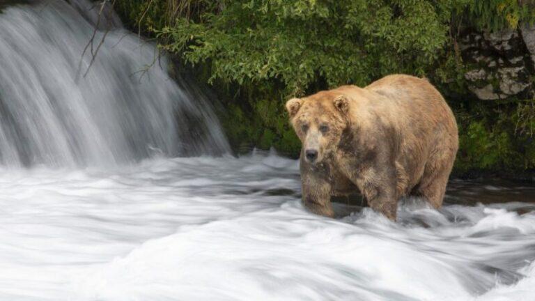 Íme Otis, Alaszka legkövérebb medvéje, aki egyre csak hízik – VIDEÓVAL
