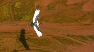 Embernagyságúra is megnőhet a világ legnagyobb gólyaféléje