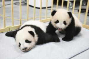 Nevet kaptak a júniusban született eszméletlenül aranyos apró pandaikrek – VIDEÓ