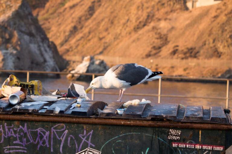 Rendkívül káros kémiai anyagokkal van tele a tengeri madarak szervezete